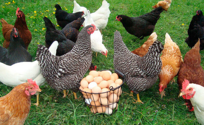 Щоб було багато яєць, сушіть кропиву